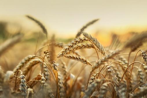 Wheat in early sunlight 507633388