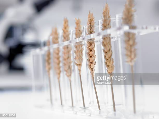 wheat in test tubes - genetic modification stock pictures, royalty-free photos & images
