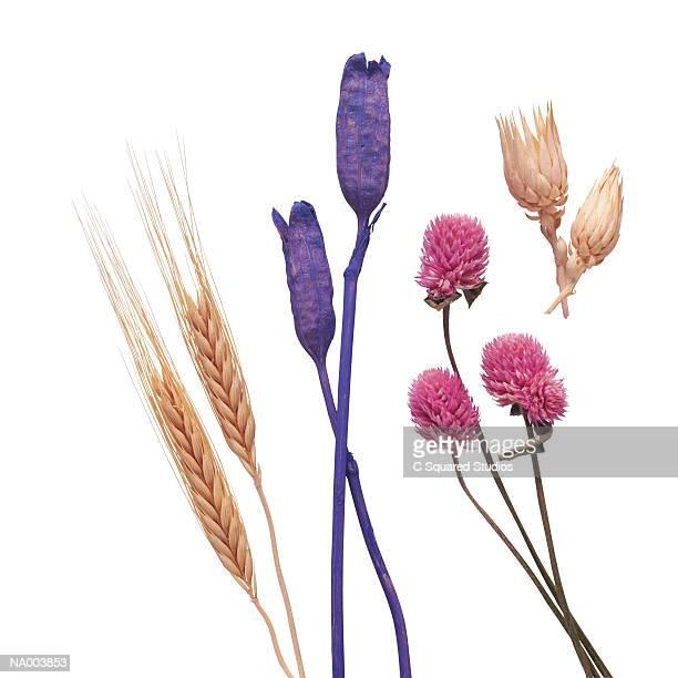 Wheat, Iris Stems , Globe Amereth, and Berkheya