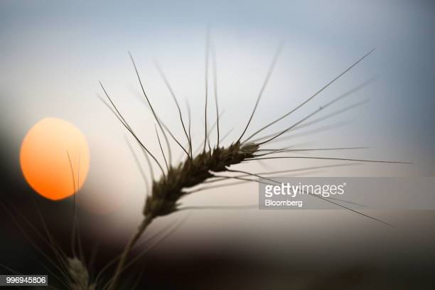 A wheat kernel stands in a field as the sun sets during the summer harvest on a farm operated by Ros Agro Plc in Kazinka village outside Belgorod...