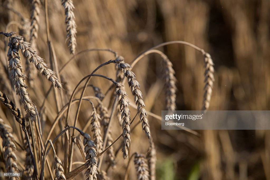 Wheat kernels hang from plants before a harvest in Wustermark, Germany, on Monday, Aug. 14, 2017. In Germany, problems with specific weight and Hagberg, a measure of baking quality, mean as much as 40 percent of wheat may have to go to the animal feed market this year. Photographer: Krisztian Bocsi/Bloomberg via Getty Images