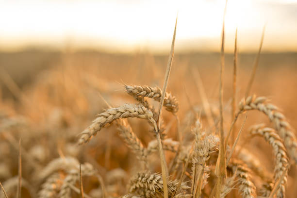 GBR: Harvest As Europe's Wilted Wheat Leaves World Hunting Elsewhere for Grain