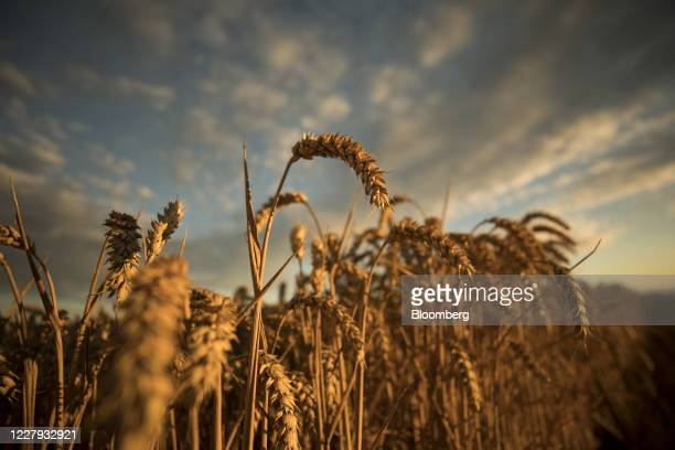 Wheat kernels stand in a field before harvesting at the Morgue Estate in Tenterden, U.K., on Wednesday, Aug. 5, 2020. As harvests roll out across...