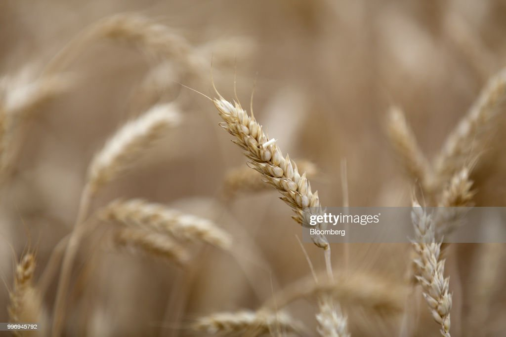 Wheat kernels stand in a field during the summer harvest on a farm operated by Ros Agro Plc, in Kazinka village, outside Belgorod, Russia, on Wednesday, July 11, 2018. Russian wheat has dominated sales to Egypt in recent years, accounting for 78 percent of total purchases in the 2017-18 season. Photographer: Andrey Rudakov/Bloomberg via Getty Images