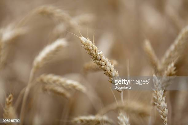 Wheat kernels stand in a field during the summer harvest on a farm operated by Ros Agro Plc in Kazinka village outside Belgorod Russia on Wednesday...