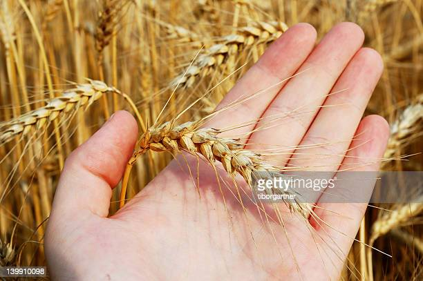 Weizen auf Seite