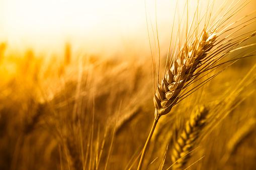Wheat 183802549