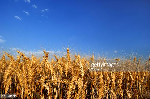 wheat - rye grain stock pictures, royalty-free photos & images