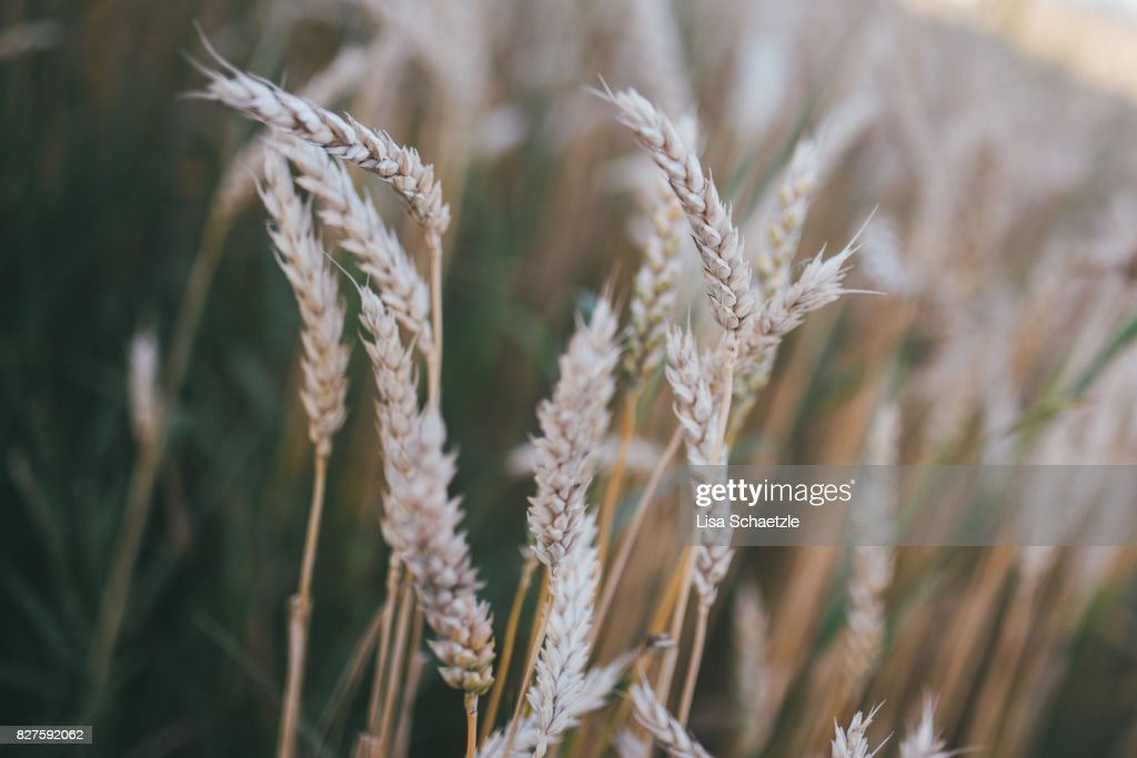 Wheat : Stock Photo