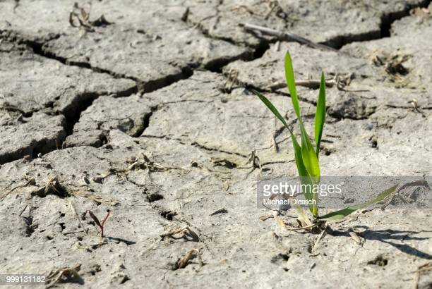 wheat plant (triticum spec.), on dry field, desiccation crack, symbolic image for growth amid adverse circumstances, north frisia, schleswig-holstein, germany - dürre stock-fotos und bilder