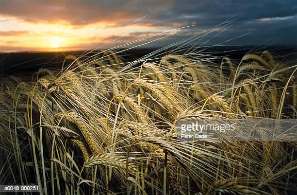 Wheat Plants at Sunset