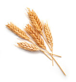Wheat seed heads isolated on white background