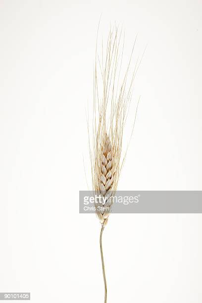 Wheat seed stem