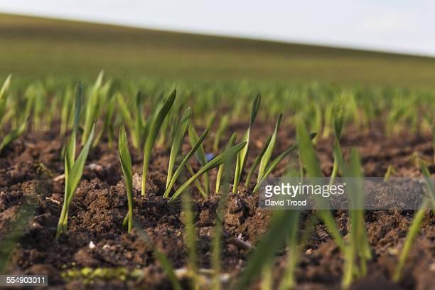 wheat shoots close up - 苗 ストックフォトと画像