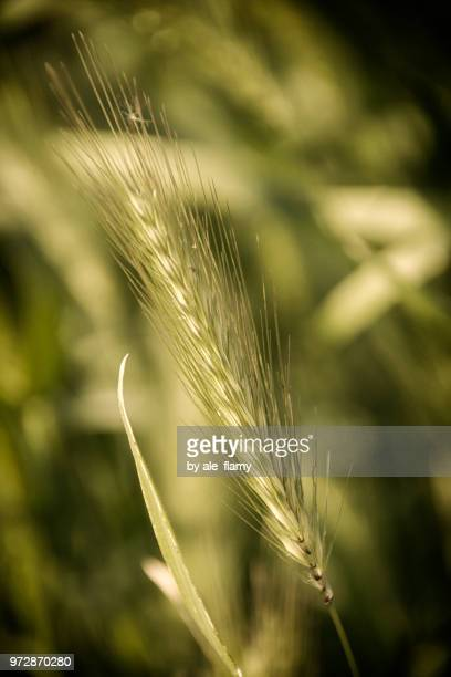 wheat spice on the field - ale stock pictures, royalty-free photos & images