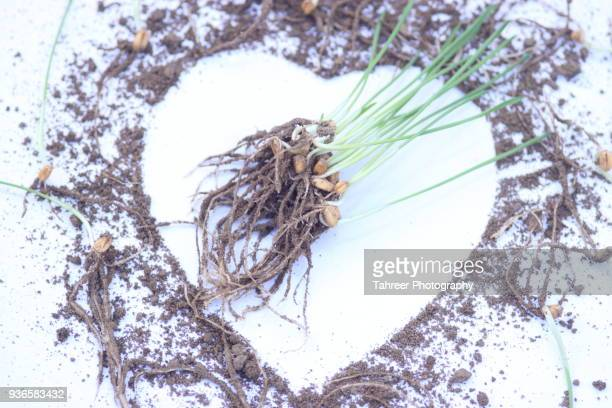 wheat sprout with heart shape made with dirt