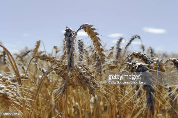 wheat stalks stand at a farm in australia. - threshing stock photos and pictures
