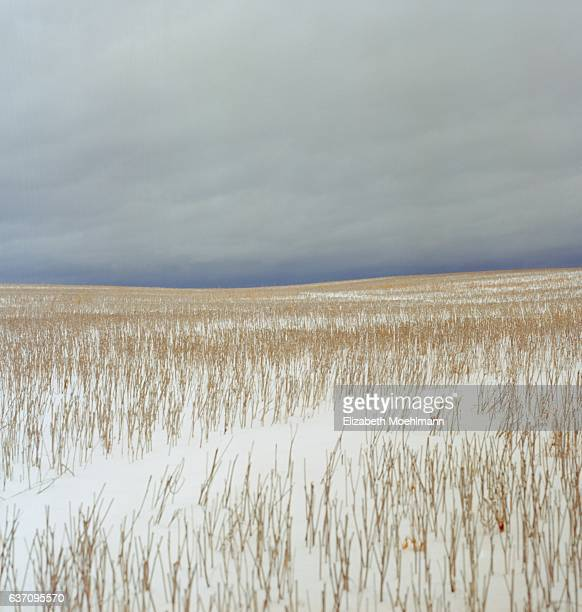 Wheat stubble covered in snow, Flathead Valley