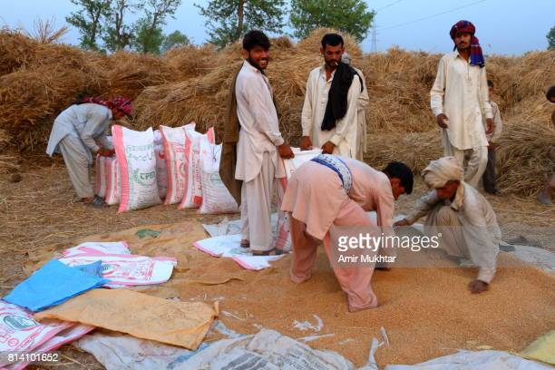 wheat thresher and filling the wheat bags - harvest festival stock pictures, royalty-free photos & images