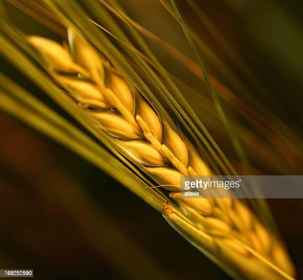 wheat,closeup. - extreme close up stockfoto's en -beelden