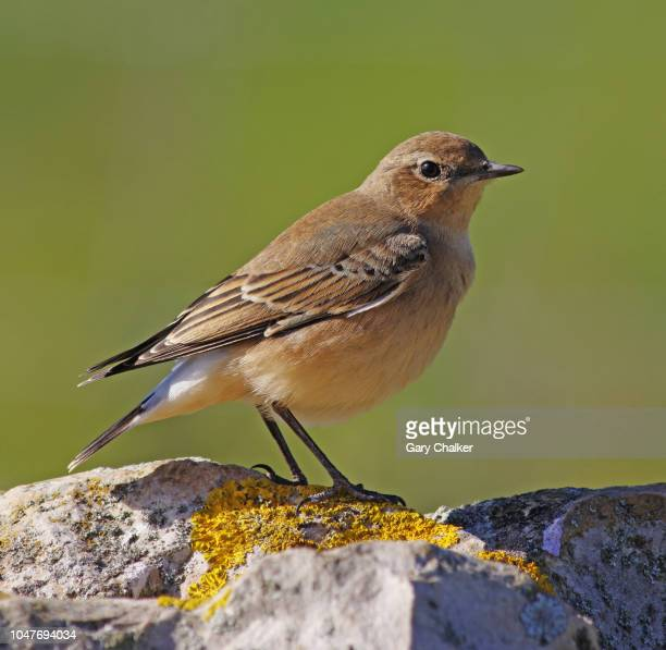 wheatear [oenanthe oenanthe] - songbird stock pictures, royalty-free photos & images
