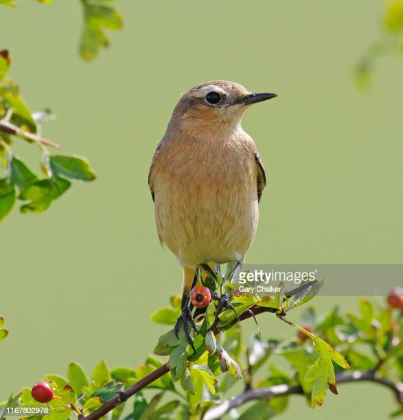 wheatear [oenanthe oenanthe] - thrush stock pictures, royalty-free photos & images