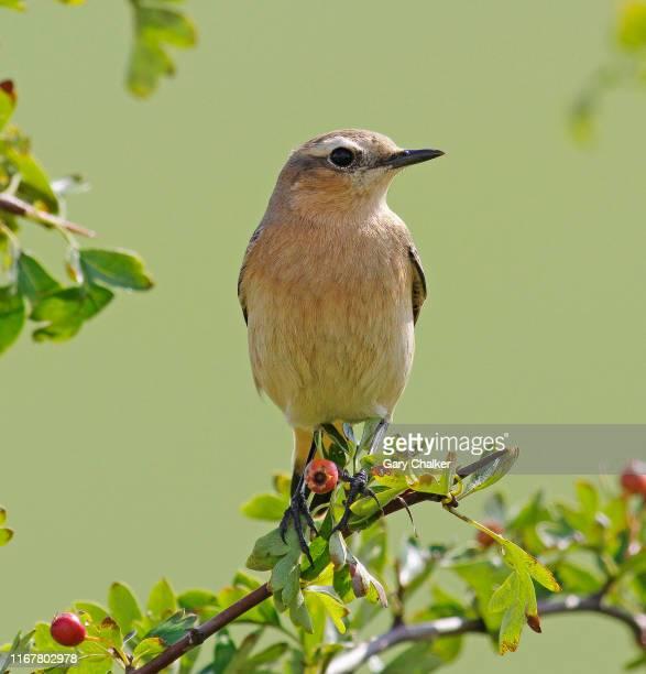 wheatear [oenanthe oenanthe] - tordo bottaccio foto e immagini stock