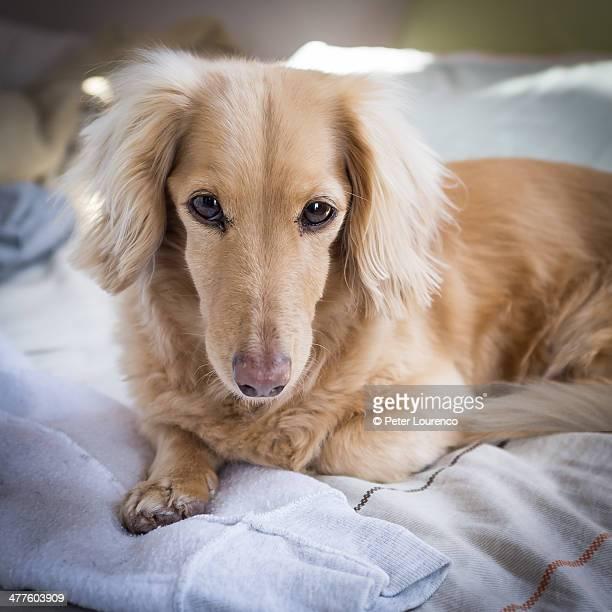 Wheaten dachshund