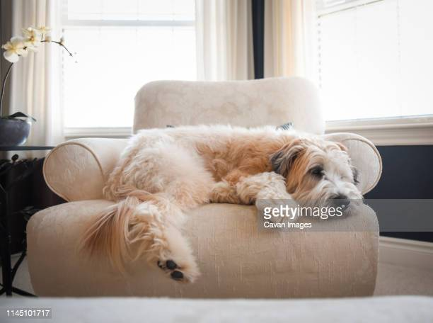 wheaten dog laying on an upholstered chair in a bright room. - soft coated wheaten terrier stock photos and pictures