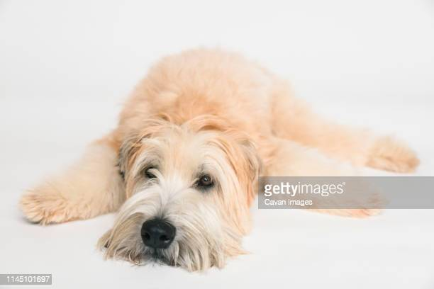 wheaten terrier dog laying down on a white background. - soft coated wheaten terrier stock photos and pictures