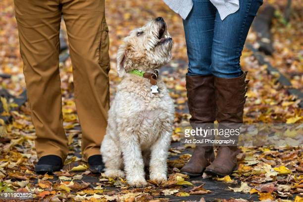 wheaten terrier dog sitting between owners legs in the fall leaves - soft coated wheaten terrier stock photos and pictures