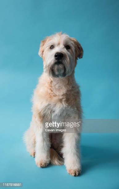 wheaten terrier dog sitting on blue backdrop looking forward. - soft coated wheaten terrier stock photos and pictures