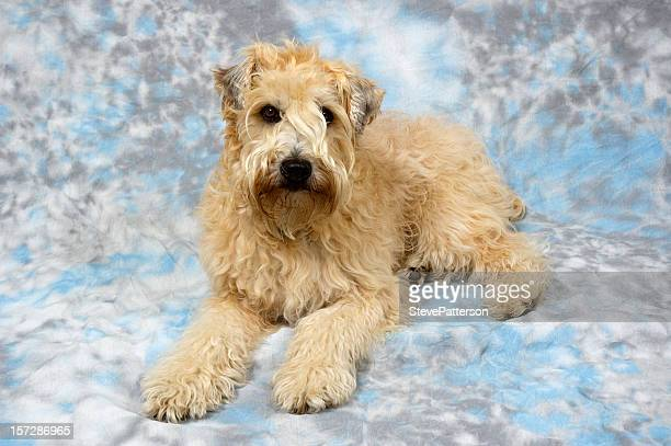 wheaten terrier in the studio - soft coated wheaten terrier stock photos and pictures