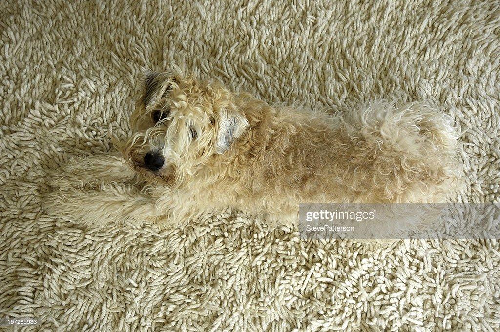 Wheaten Terrier on Rug : Stock Photo