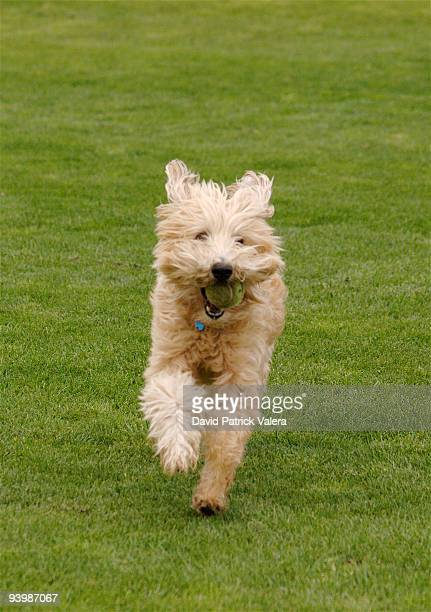 wheaten terrier - soft coated wheaten terrier stock photos and pictures
