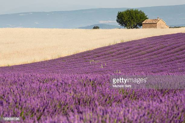 Wheatfield and lavender with tree