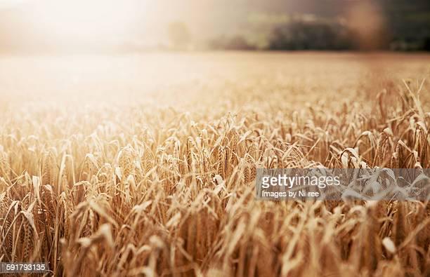 Wheatfield at sunset