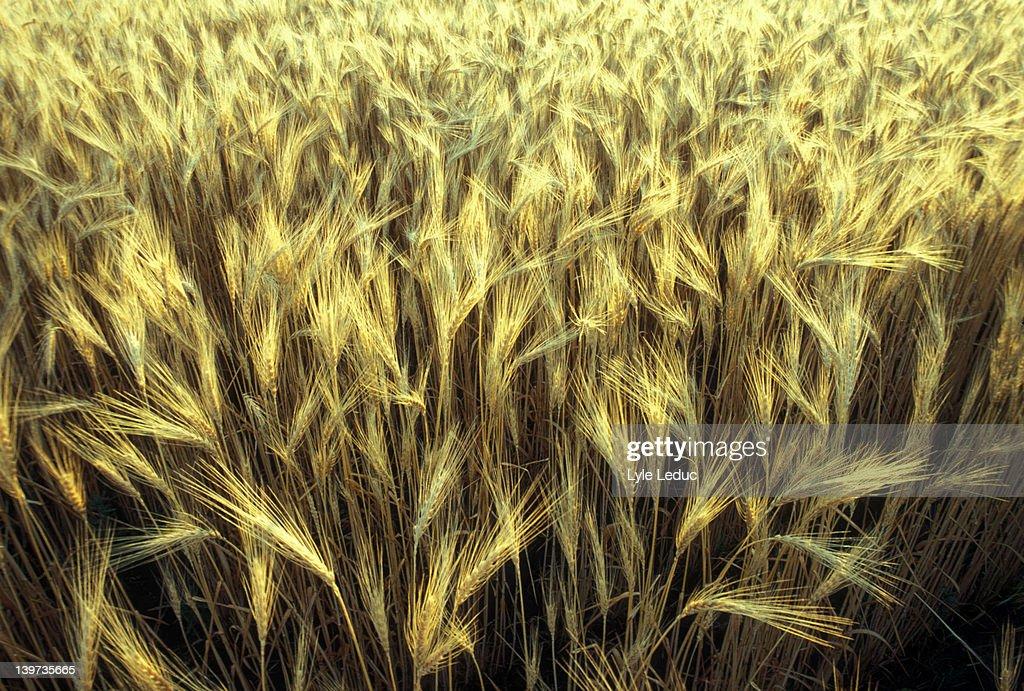 Wheatfield : Stock Photo