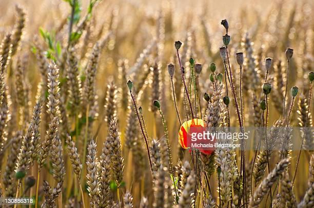 Wheatfield with poppy