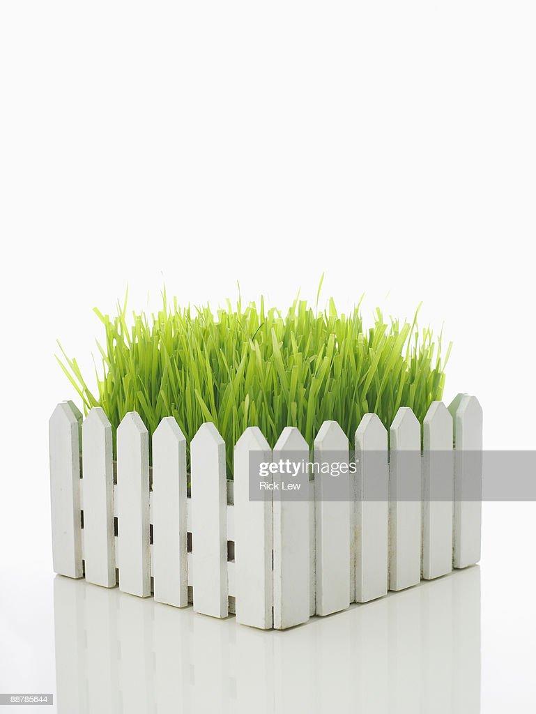 wheatgrass behind white picket fence : ストックフォト