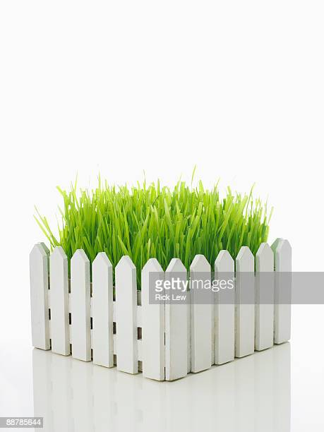 wheatgrass behind white picket fence