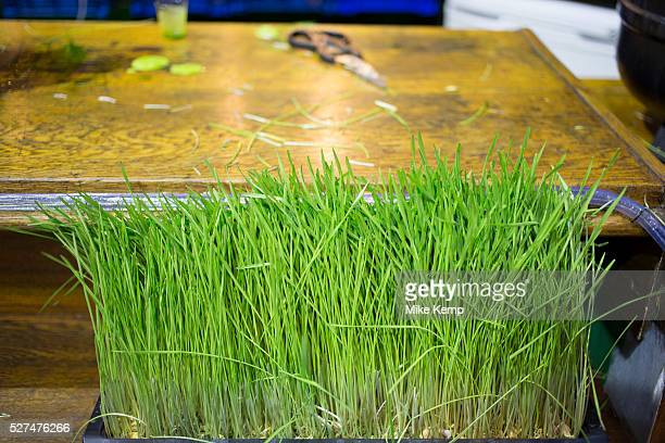 Wheatgrass for sale at Borough Market Wheatgrass is a food prepared from the cotyledons of the common wheat plant Triticum aestivum Like most plants...
