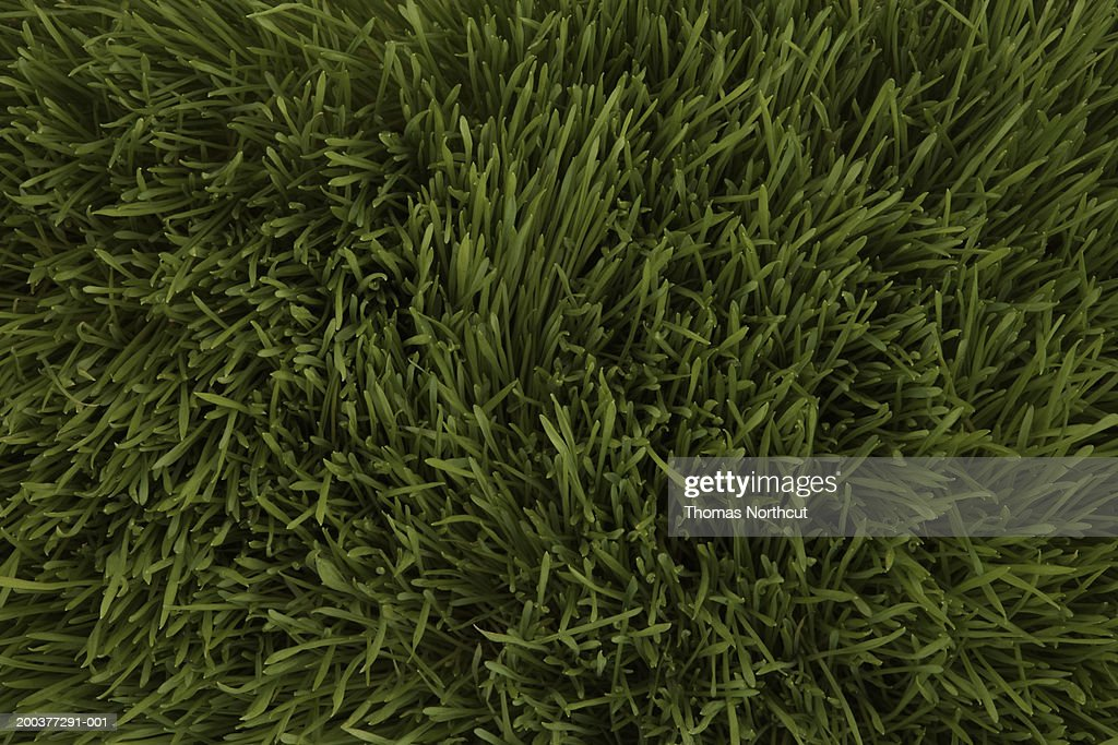 Wheatgrass, full frame : Stock Photo