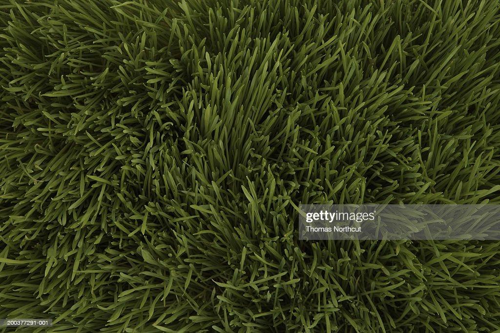 Wheatgrass, full frame : Foto de stock