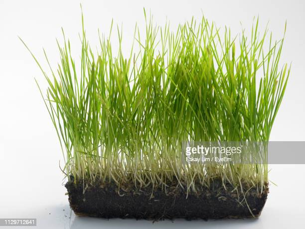 wheatgrass growing against white background - wheatgrass stock photos and pictures