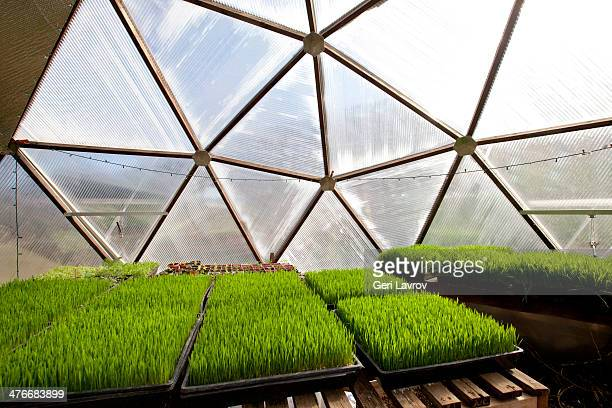 Wheatgrass growing in a greenhouse