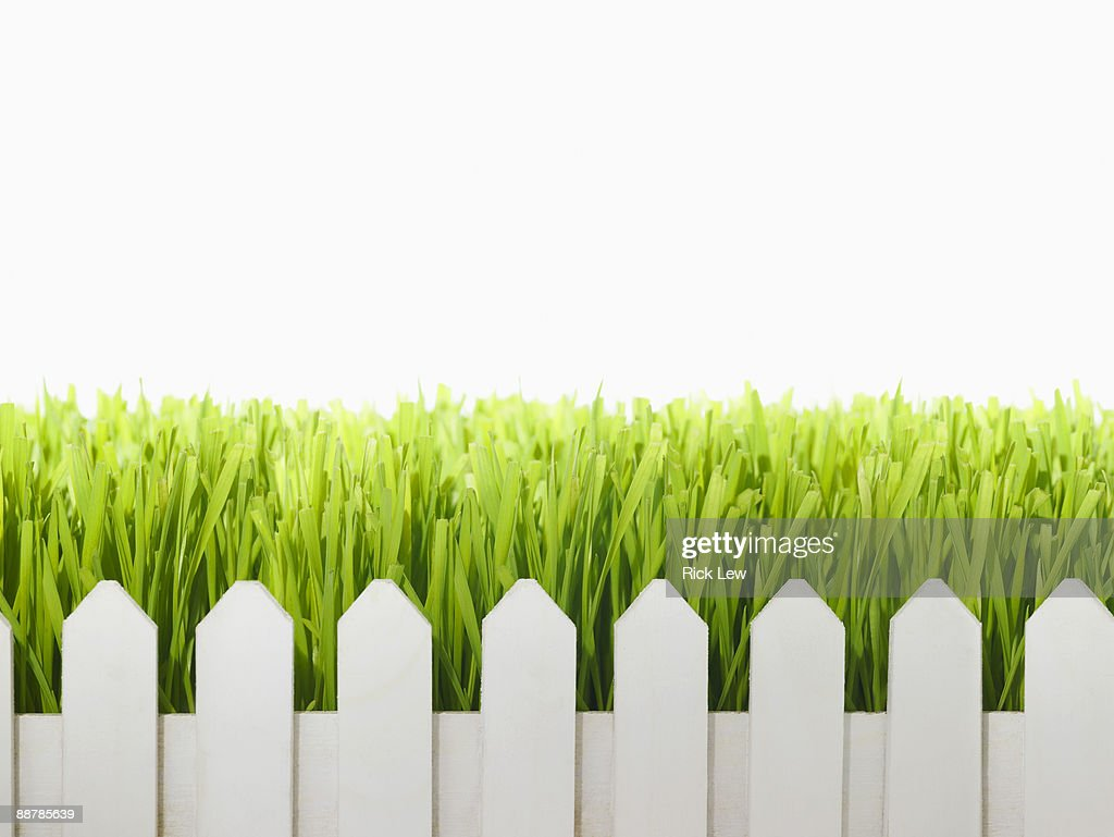 wheatgrass growing over white picket fence : ストックフォト