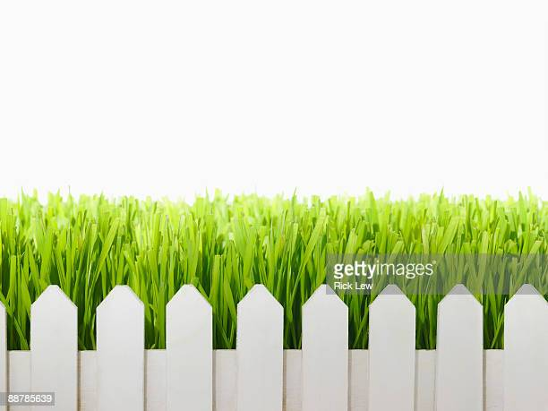 wheatgrass growing over white picket fence