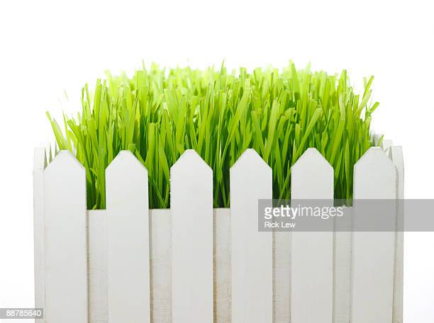 wheatgrass in white picket fence