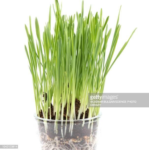 wheatgrass - wheatgrass stock photos and pictures